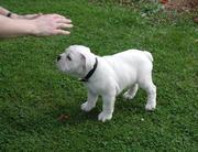 Красивые английски бык собаки щенка для новых и заботы дома