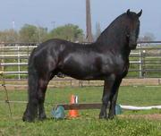 Здоровый Фризских лошадей