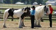 Красивые лошади Ваннер цыганская